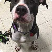 Adopt A Pet :: Bully - Cleveland, OH