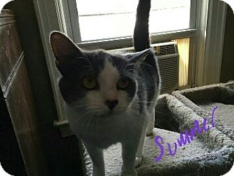 Domestic Shorthair Cat for adoption in New York, New York - Summer