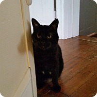 Adopt A Pet :: Josie (Judy's cat) - Medford, NJ
