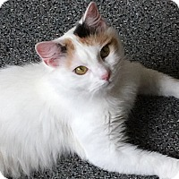Domestic Mediumhair Cat for adoption in Buchanan, Tennessee - Silky