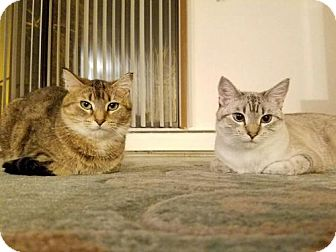 Domestic Shorthair Cat for adoption in St. Paul, Minnesota - Fiona and Anita