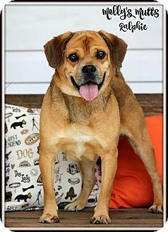 Pug/Beagle Mix Dog for adoption in Dixon, Kentucky - Ralphie