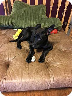 Labrador Retriever/Shepherd (Unknown Type) Mix Dog for adoption in Bloomington, Illinois - Sweetums