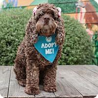 Adopt A Pet :: Coco Puff - Pacific Grove, CA