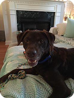 Labrador Retriever Mix Dog for adoption in Charleston, South Carolina - Minnie