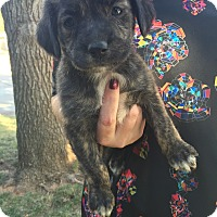Catahoula Leopard Dog Mix Puppy for adoption in oklahoma city, Oklahoma - Tallullah