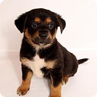 Adopt A Pet :: Tank Heeler Shepherd Mix - St. Louis, MO