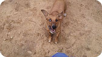 Dachshund/Blue Heeler Mix Dog for adoption in Providence, Rhode Island - George