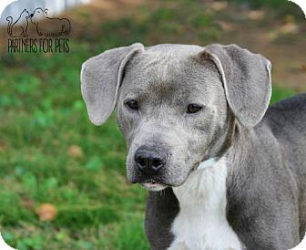 Pit Bull Terrier/Weimaraner Mix Dog for adoption in Troy, Illinois - Kinick