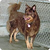 Australian Shepherd Mix Dog for adoption in Ruidoso, New Mexico - Aida