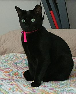 American Shorthair Cat for adoption in Miami, Florida - Silky Kitty