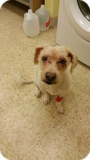Poodle (Miniature) Mix Dog for adoption in Whitestone, New York - Roberto (Acc)