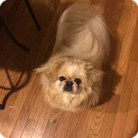 Pekingese Dog for adoption in Portland, Maine - Sophie