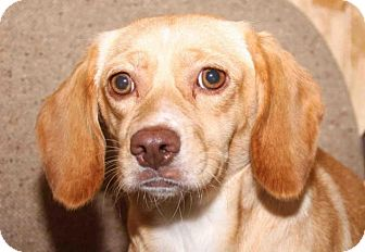 Beagle Dog for adoption in Rossville, Tennessee - Doodles