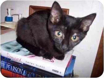 Domestic Shorthair Kitten for adoption in Delmont, Pennsylvania - Sally