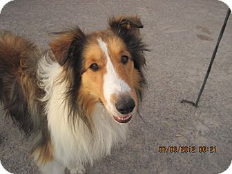 Sheltie, Shetland Sheepdog Dog for adoption in apache junction, Arizona - MILO