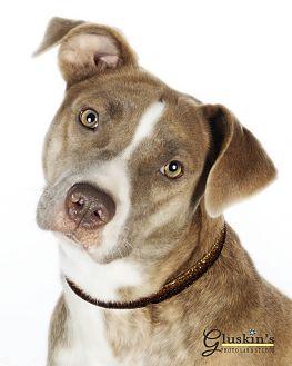 Labrador Retriever/Pit Bull Terrier Mix Dog for adoption in Lodi, California - Gretchen