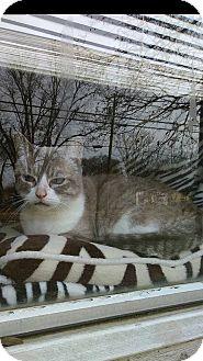 Snowshoe Cat for adoption in Wichita Falls, Texas - Leia