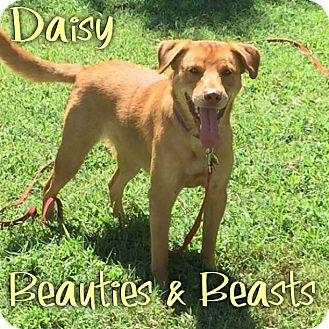 Labrador Retriever Mix Dog for adoption in Wichita, Kansas - Daisy