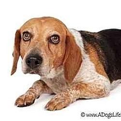Photo 3 - Beagle Mix Dog for adoption in Phoenix, Arizona - Amy Lynn
