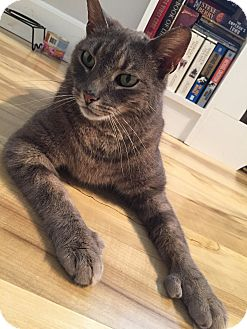Domestic Shorthair Cat for adoption in Bryn Mawr, Pennsylvania - ERNEST/ Huge Personality