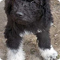 Adopt A Pet :: Ernie / pup - adopted - Beacon, NY