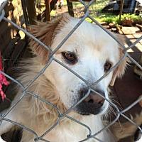 Great Pyrenees Mix Dog for adoption in Hamilton, Georgia - Katch