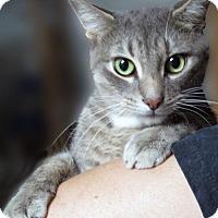 Adopt A Pet :: Emilia: Lovely Sweet Gray Tabby - Brooklyn, NY