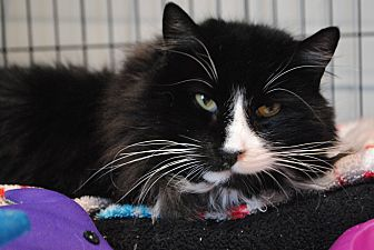 Domestic Shorthair Cat for adoption in Lafayette, New Jersey - Tuxedo