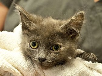 Domestic Shorthair Kitten for adoption in Great Falls, Montana - Roly Poly