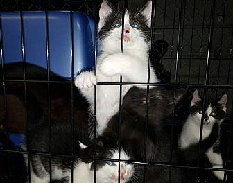 Domestic Shorthair Kitten for adoption in Albemarle, North Carolina - Little Dot
