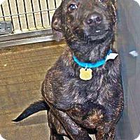 German Shepherd Dog/Labrador Retriever Mix Dog for adoption in Albertville, Minnesota - Ballard
