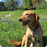 Adopt A Pet :: Big Scout - Austin, TX