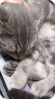 Domestic Shorthair Kitten for adoption in Yuba City, California - Brasher