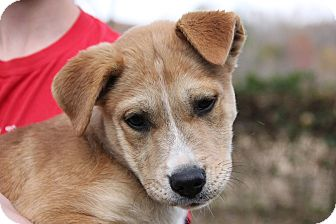 Shepherd (Unknown Type)/Terrier (Unknown Type, Medium) Mix Puppy for adoption in Pittsboro, North Carolina - Gracie