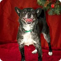 Adopt A Pet :: Pepper - LITTLETON, CO