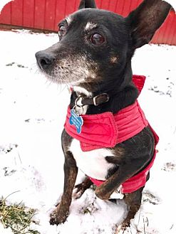 Chihuahua/Miniature Pinscher Mix Dog for adoption in Fairfield, Ohio - Ami