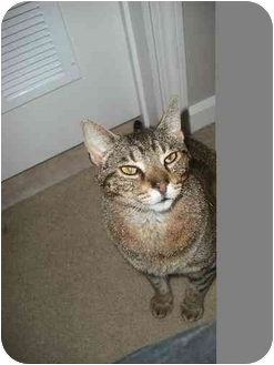 Domestic Shorthair Cat for adoption in Chattanooga, Tennessee - Alex