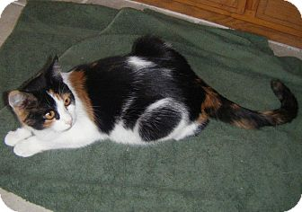Calico Cat for adoption in Bentonville, Arkansas - Lucy