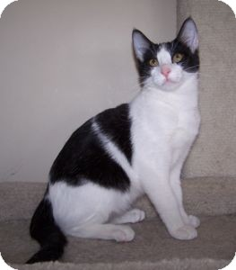 Domestic Shorthair Kitten for adoption in Colorado Springs, Colorado - K-Sitka4-Tika