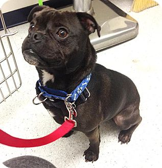 boston terrier pug mix pascal adopted dog los angeles ca boston terrier 871