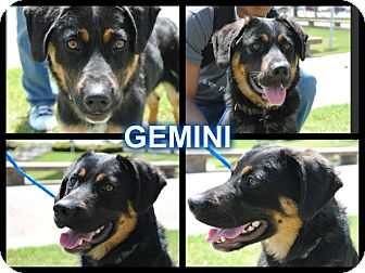 Rottweiler/Shepherd (Unknown Type) Mix Dog for adoption in Manchester, Connecticut - Gemeni  meet me 5/17
