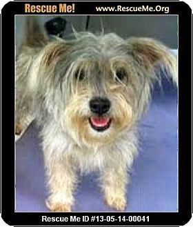 Havanese/Schnauzer (Miniature) Mix Dog for adoption in Boulder, Colorado - Steffi