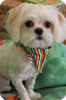 Maltese Mix Dog for adoption in Hamburg, Pennsylvania - Louie
