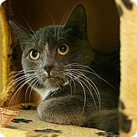 Domestic Shorthair Kitten for adoption in Secaucus, New Jersey - Gigi