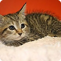 Adopt A Pet :: PAOLA - SILVER SPRING, MD