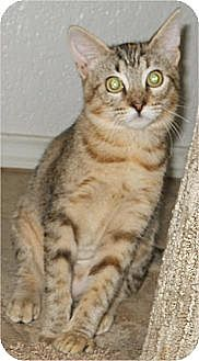Domestic Shorthair Cat for adoption in San Antonio, Texas - Tess