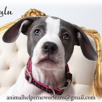 Adopt A Pet :: Lulu - New Orleans, LA