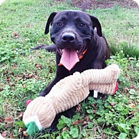 Adopt A Pet :: Rolo - Old Saybrook, CT