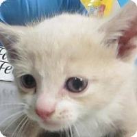 Adopt A Pet :: buff cutie - Lincolnton, NC
